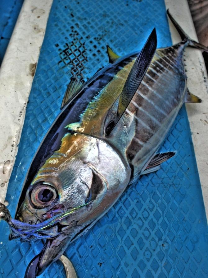 yellowfintuna