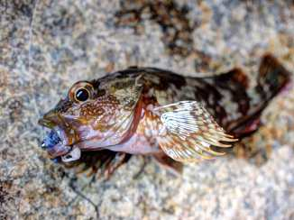rockfish_R